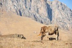 Кавказские быки и коровы на горе pastures в тракте около Mount Elbrus на предпосылке красивых утесов Стоковая Фотография
