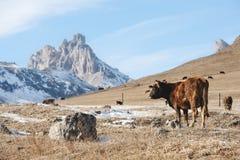 Кавказские быки и коровы на горе pastures в тракте около Mount Elbrus на предпосылке красивых утесов Стоковая Фотография RF