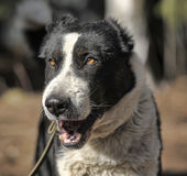 Кавказские зевки собаки чабана Стоковая Фотография RF
