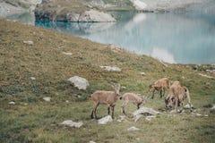 Кавказские козы в горах Стоковая Фотография RF