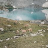 Кавказские козы в горах Стоковая Фотография