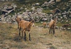 Кавказские козы в горах Стоковое фото RF
