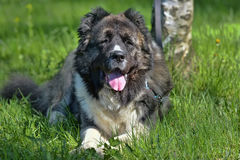 кавказский чабан собаки Стоковые Фото
