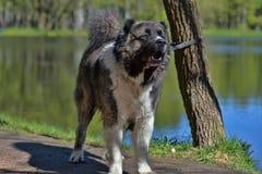 кавказский чабан собаки Стоковая Фотография RF
