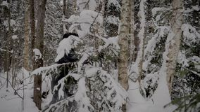 Кавказский человек через лес Snowy с Trekking поляками в зиме акции видеоматериалы