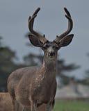 каек самеца оленя пляжа Стоковые Фото
