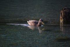 кажется утка своей водой заплывания озера рефлекторной Стоковые Фотографии RF