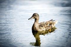 кажется утка своей водой заплывания озера рефлекторной Стоковая Фотография RF