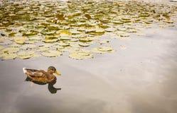 кажется утка своей водой заплывания озера рефлекторной Стоковое Изображение RF