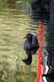 кажется утка своей водой заплывания озера рефлекторной Стоковое фото RF