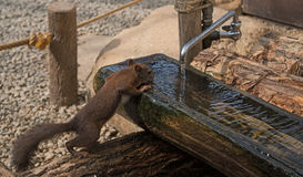 каждому нужна вода Сибирский бурундук выпивает Стоковые Фото