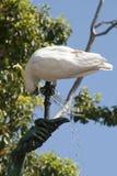 Какаду crested серой выпивая от фонтана сада стоковые фото