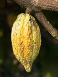 какао фасоли Стоковое Фото