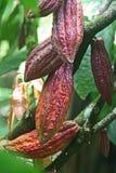 Какао Стоковые Изображения