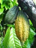 какао Стоковое Изображение RF