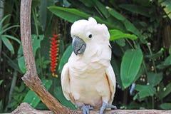 Какаду, Бали Стоковое Изображение