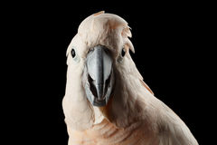 Какаду крупного плана смешной Moluccan, семг-crested взгляды удивленные попугаем, изолированная чернота Стоковое фото RF
