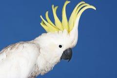 Какаду на голубой предпосылке Стоковые Фотографии RF