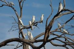 Какаду на дереве стоковая фотография