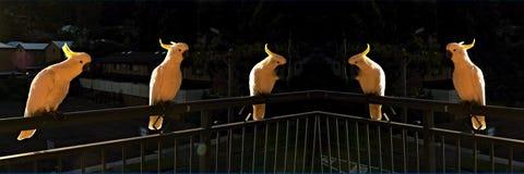Какаду на зоре Стоковое фото RF
