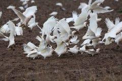Какаду на урожае пшеницы Стоковая Фотография RF