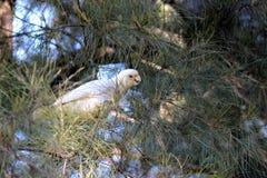 Какаду Corella на дереве Стоковая Фотография