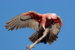 Какаду Galah, Австралия Стоковая Фотография RF