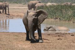 Какой сердитый слон Bull стоковая фотография rf