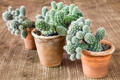 3 кактуса в баках Стоковая Фотография