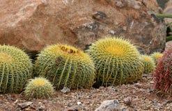 кактусы бочонка золотистые Стоковое фото RF
