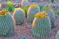 кактусы бочонка несколько стоковые изображения rf