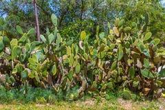 Кактусы в Корфу, Греции Стоковые Изображения RF