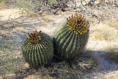 Кактусы в национальном парке стоковое изображение