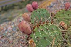 Кактусы растя на королевском ущелье Колорадо Стоковые Изображения