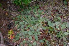 Кактусы рода Opuntia путешествуют вдоль земли Этот тип  Стоковые Фото