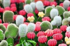 кактусы Стоковая Фотография RF