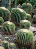 кактусы стоковое фото rf