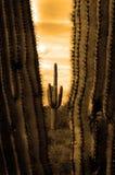 Кактусы Catus в пустыне Аризоны стоковая фотография rf
