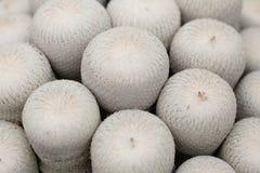 Кактусы Epithelantha стоковые фотографии rf