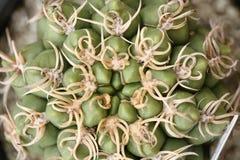 Кактусы Gymnocalycium стоковое фото
