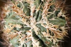Кактусы texensis Homalocephala стоковое изображение