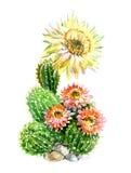 Кактус акварели в баке при изолированный цветок Стоковая Фотография