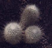 Кактус 3 белизн на сухой земле Стоковые Изображения