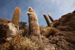 кактус Боливии Стоковые Изображения