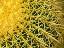 кактус бочонка золотистый Стоковые Изображения