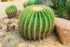 кактус бочонка золотистый Стоковое фото RF