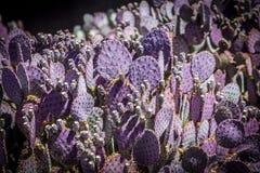 Кактус в Аризоне стоковое фото rf