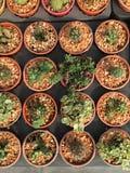 Кактус в баках/кактусе бака/кактусе/кактусе терния в рынке Стоковые Фото