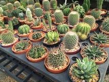 Кактус в баках/кактусе бака/кактусе/кактусе терния в рынке Стоковые Изображения