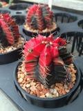 Кактус в баках/кактусе бака/кактусе/кактусе терния Стоковое Изображение RF